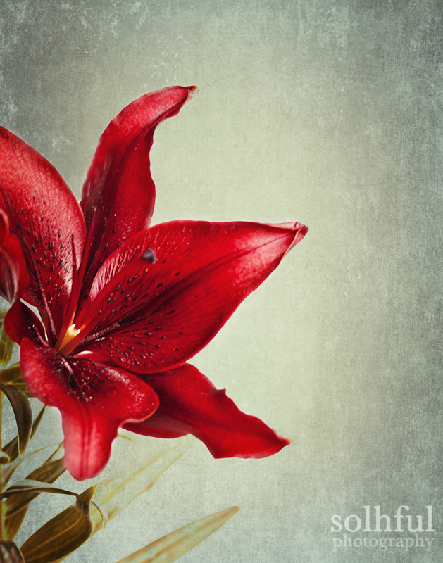 Red Lily Flower Photography Dramatic 8x10 Print